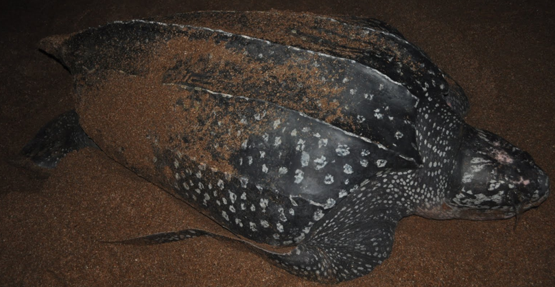 Leatherback turtle Playa Grande Costa Rica
